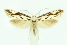 Nemapogon picarella (Clerck, 1759)