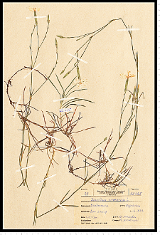 Dianthus arenarius L.