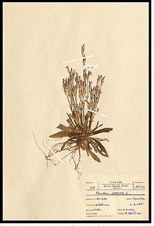 Dianthus armeria L.