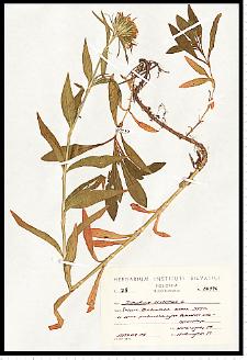 Dianthus compactus Kit.