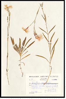 Dianthus speciosus Rchb.