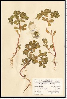 Euphorbia helioscopia L.