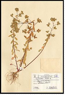 Euphorbia serrulata Thuill.