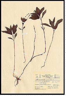 Mercurialis perennis L.