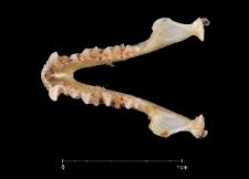 Eptesicus serotinus