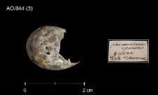 Acrocephalus scirpaceus vel palustris