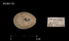Acrocephalus schoenobaenus