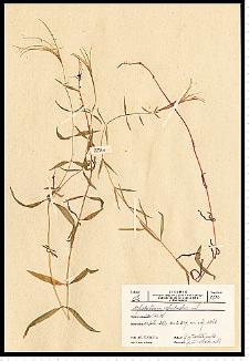 Epilobium palustre L.