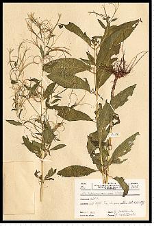 Epilobium roseum Schreb.