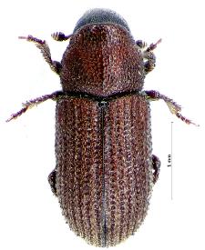 Hylurgops palliatus (L. Gyllenhal, 1813)