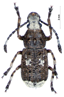 Platystomos albinus (Linnaeus, 1758)