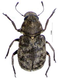 Rhaphitropis marchica (J.F.W. Herbst, 1797)