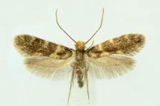 Triaxomasia caprimulgella (Stainton, 1851)