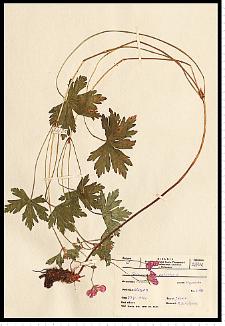 Geranium palustre L.
