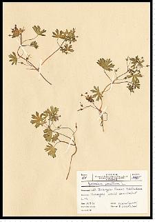 Geranium pusillum Burm. F. ex L.