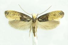Trichophaga tapetzella (Linnaeus, 1758)
