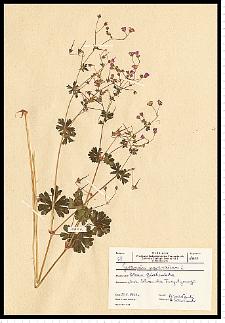 Geranium pyrenaicum Burm