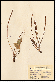 Plantago major L.