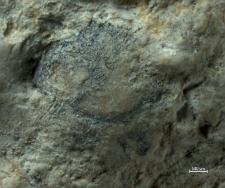 Goniodromitidae
