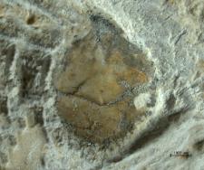 Tanidromites sculpta