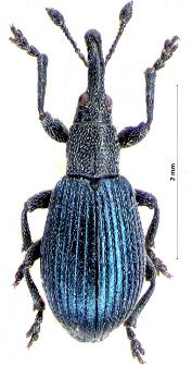 Perapion violaceum (W. Kirby, 1808)