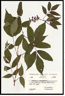 Sambucus racemosa L.