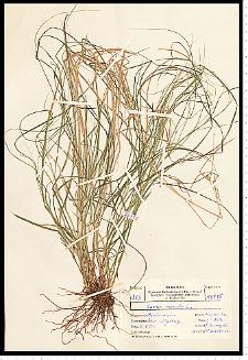Carex remota L.