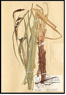 Carex riparia Curtis