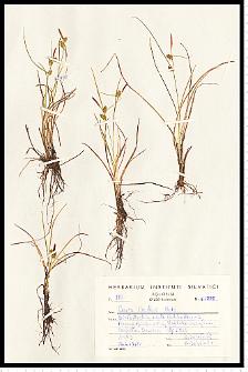 Carex oederi Retz.