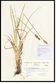 Carex cuprina (I. Sándor ex Heuff.) Nendtv. ex A. Kern.