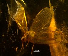 Sisyridae