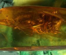 Pseudopallenis baltica
