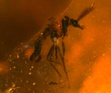 Ceratopogon eminens