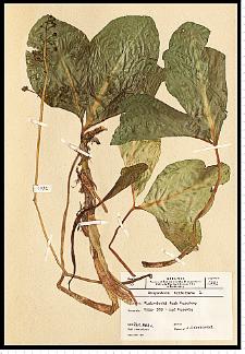 Menyanthes trifoliata L.