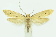 Tinea trinotella Thunberg, 1794