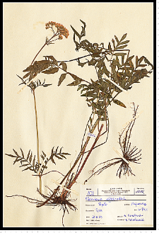Valeriana officinalis L.