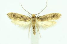 Niditinea fuscella (Linnaeus, 1758)
