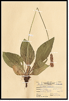 Plantago media L.