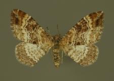 Xanthorhoe spadicearia (Denis & Schiffermüller, 1775)