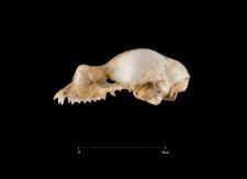 Rhinolophus hipposideros