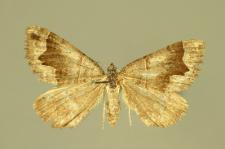 Scotopteryx moeniata (Scopoli, 1763)