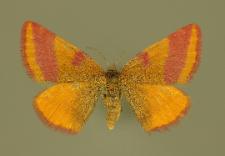 Lythria cruentaria (Hufnagel, 1767)