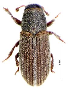 Xylechinus pilosus (J.T.C. Ratzeburg, 1837)