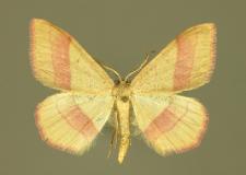 Rhodostrophia vibicaria (Clerck, 1759)