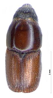 Scolytus pygmaeus (Fabricius, 1787)