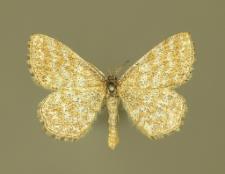 Scopula immorata (Linnaeus, 1758)