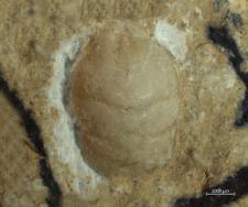 Tanidromites longinosa