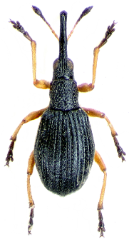 Protapion fulvipes (Geoffroy in A.F. Fourcroy, 1785)