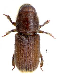 Hylurgus ligniperda (Fabricius, 1787)