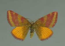 Lythria purpuraria (Linnaeus, 1758)